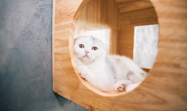 Gato branco scottish fold sentado em uma linda casinha de madeira olhando para a câmera na sala de estar Foto Premium