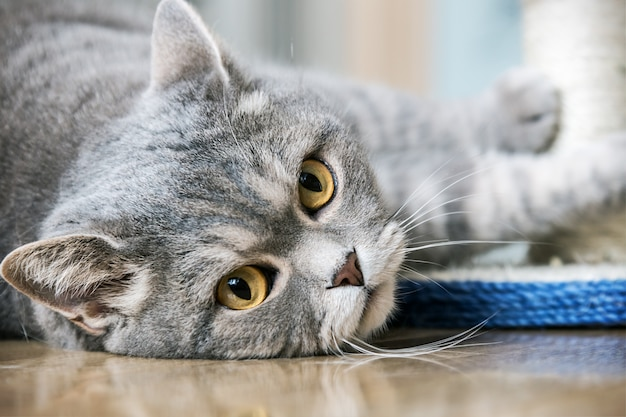 Gato britânico de olhos brincando Foto Premium