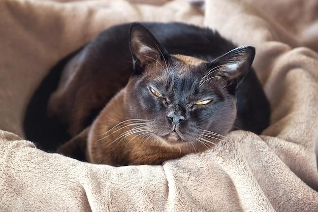Gato burmese que encontra-se em uma cesta. Foto Premium