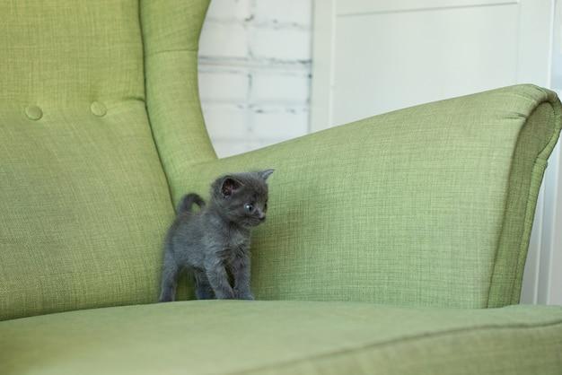 Gato cinza em uma poltrona verde. gatinho na mobília. animais em casa. Foto Premium