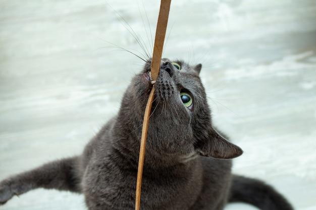 Gato cinzento bonito que morde jogando fio de couro cordão muito expressivo zangado brincalhão Foto Premium