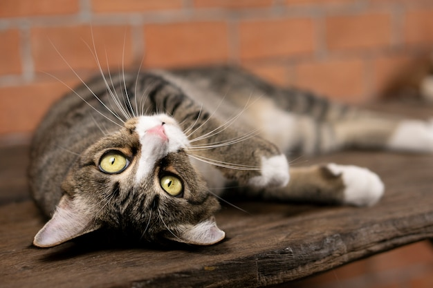 Gato cinzento escuro deitada na mesa Foto Premium