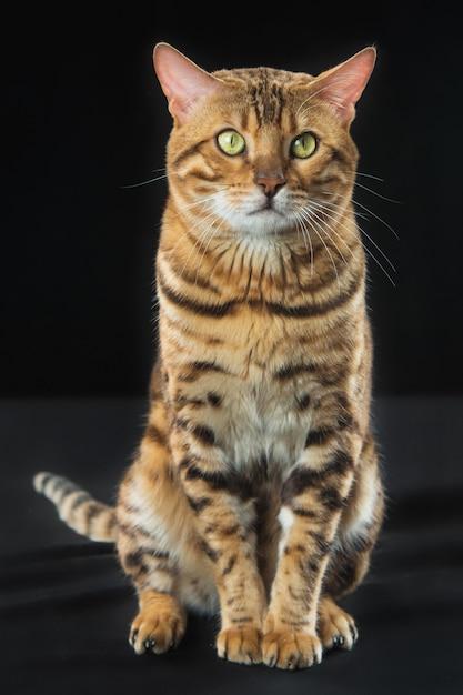 Gato de bengala dourado na parede preta Foto gratuita