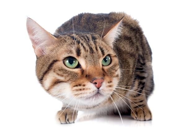 Gato de bengala Foto Premium
