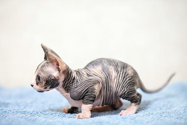 Gato de esfinge sem pêlos. Foto Premium