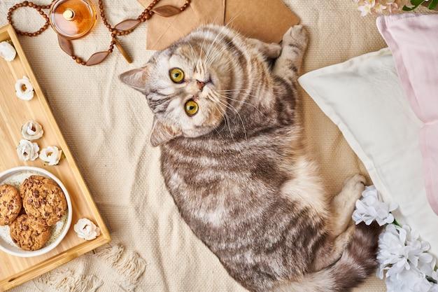Gato de gato malhado escocês que encontra-se na cama em casa. conceito de fim de semana de inverno ou outono. Foto Premium