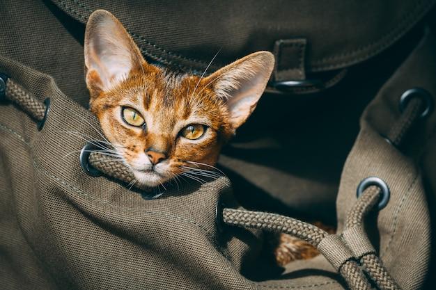 Gato de orelhas grandes marrom sentado no saco Foto Premium