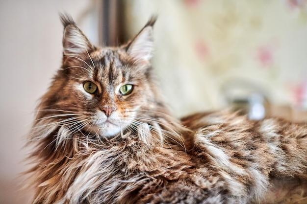 Gato de racum de maine, fim acima. gato engraçado, fofo, com cor de pele de mármore. maiores raças domesticadas de felinos. foco suave. Foto Premium