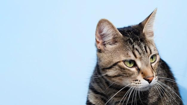 Gato doméstico close-up, olhando para longe Foto Premium