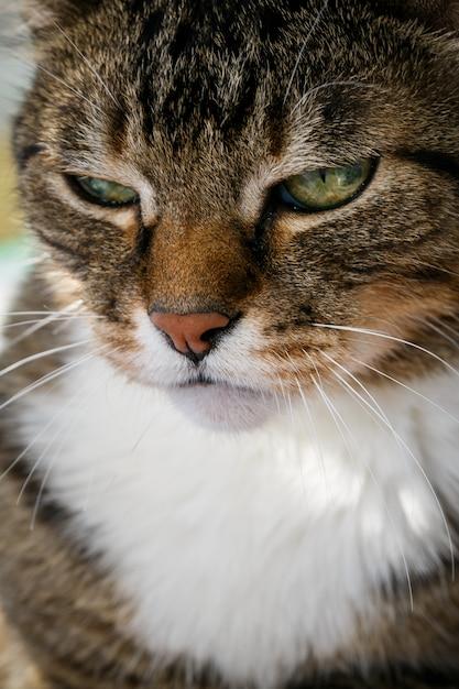 Gato doméstico irritado Foto Premium