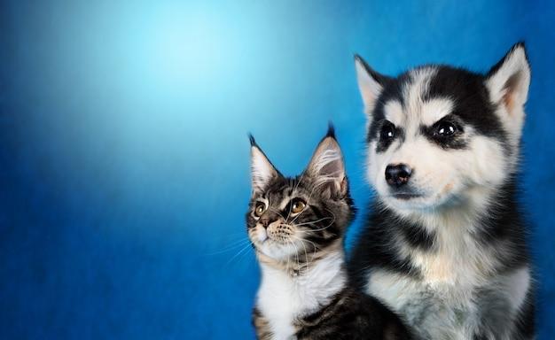 Gato e cachorro, maine coon, husky siberiano olha para a esquerda Foto Premium