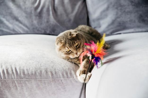 Gato escocês brincando com penas no sofá Foto gratuita