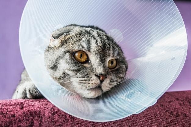 Gato escocês doente em um colar protetor plástico Foto Premium