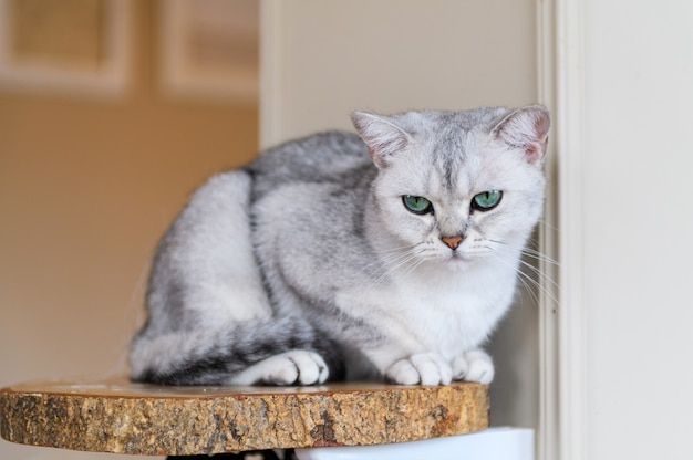 Gato fofo cinza scottish fold sente-se na placa de madeira Foto Premium