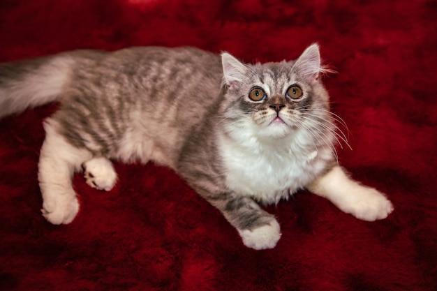 Gato fofo do scottish fold deitado no tapete de veludo vermelho e olhando para o teto Foto Premium