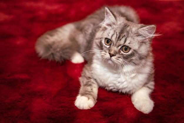 Gato fofo scottish fold deitado no tapete de veludo vermelho e olhando para a câmera Foto Premium