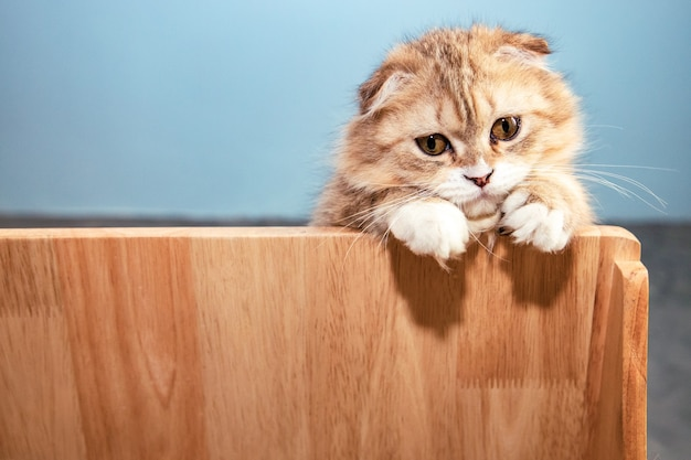 Gato fofo scottish fold marrom escondido atrás de uma parede de madeira perto de uma parede de concreto e olhando para a câmera Foto Premium