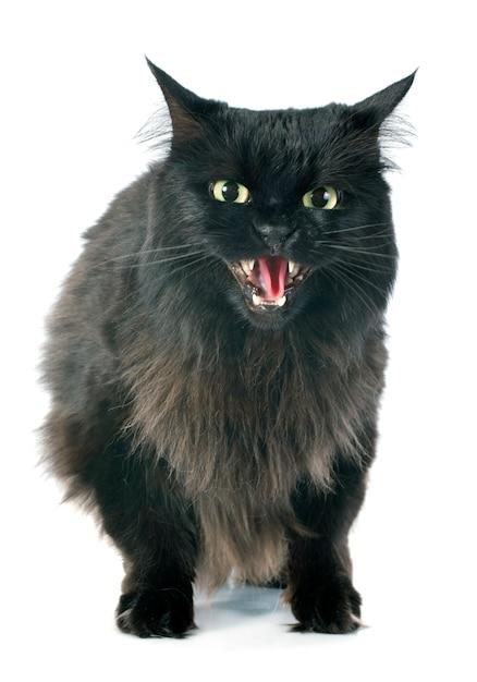 Gato furioso Foto Premium
