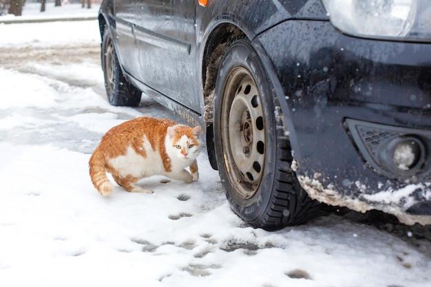 Gato gordo branco-vermelho caminha na neve no quintal perto do carro Foto Premium