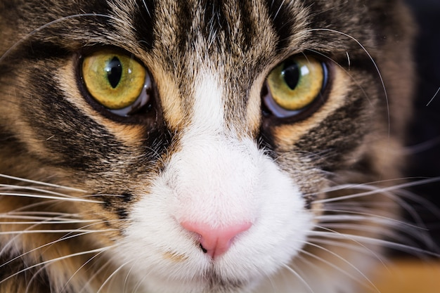 Gato maine coon. olhos de gato. fechar-se Foto Premium