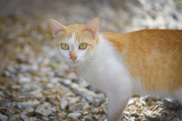 Gato malhado de gato malhado branco e laranja Foto Premium