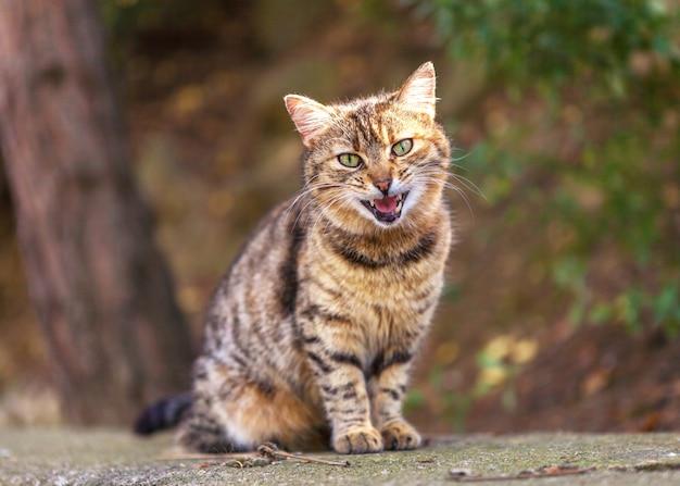 Gato malhado vermelho sentado com raiva na rua e miando Foto Premium