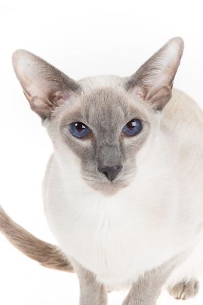 Gato oriental sem pêlo bonito fechar isolado no branco Foto Premium