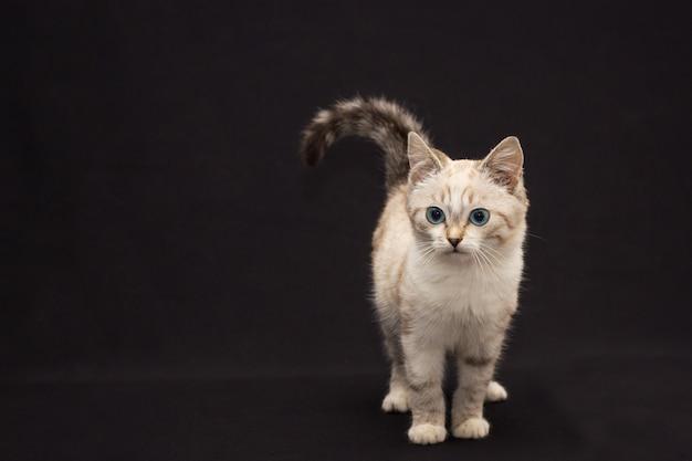 Gato peludo cinzento com olhos azuis em fundo preto Foto Premium