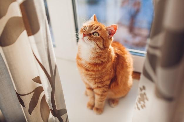 Gato ruivo sentado no peitoril da janela em casa pela manhã. animal de estimação desfrutando de sol. Foto Premium