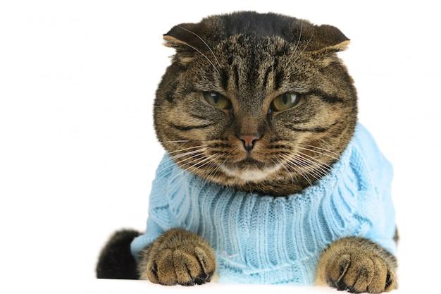 Gato scottish fold em roupas Foto Premium