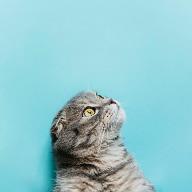 Gato scottish fold na superfície azul
