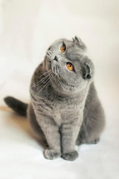 Gato scottish fold Foto Premium