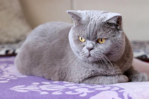 Gato shorthair britânico senta-se em uma cama e olha em volta Foto Premium