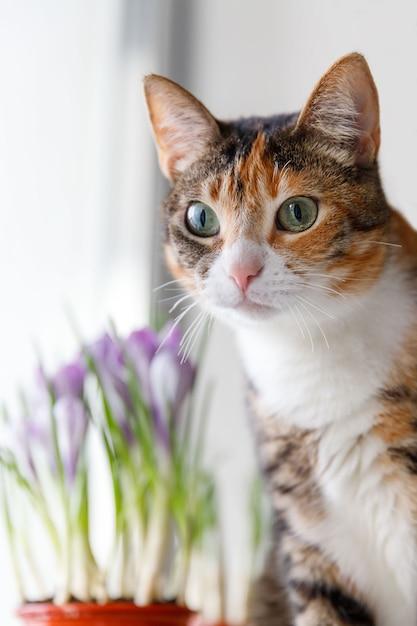 Gato tricolor surpreso com alguma coisa, viu um pássaro na janela Foto Premium