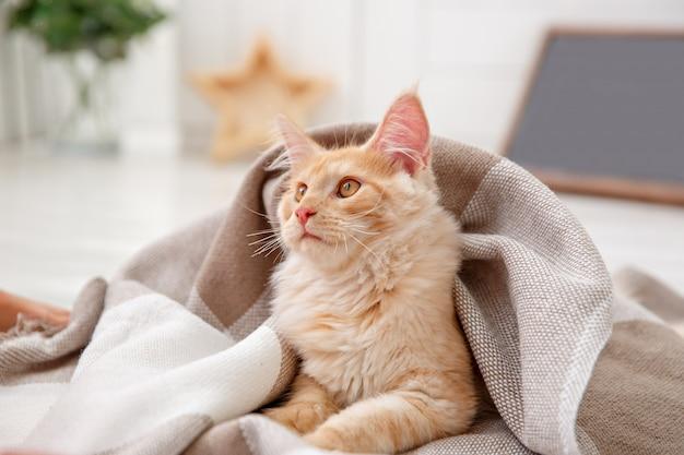 Gato vermelho coberto com um cobertor. gato vermelho maine coon Foto Premium