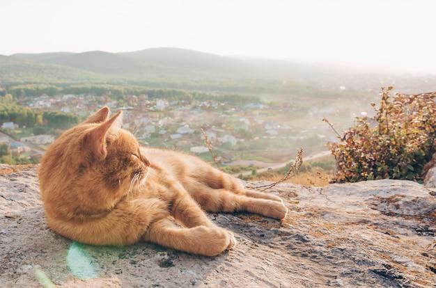 Gato vermelho curioso e piquenique no campo Foto Premium