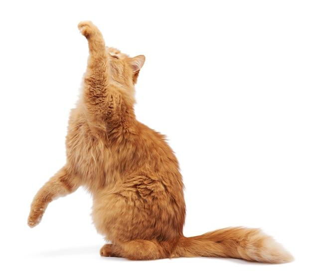 Gato vermelho fofo adulto sentado e com as patas dianteiras levantadas Foto Premium