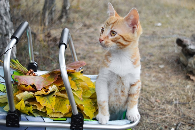 Gato vermelho pequeno em uma cesta na rua com folhas de outono. pode ser usado para calendários, cartões postais. Foto Premium