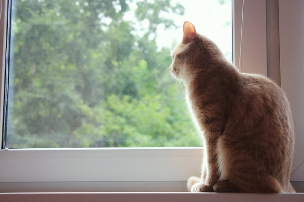 Gato vermelho senta-se no parapeito da janela e olha pela janela Foto Premium