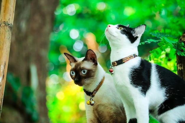 Gatos siameses escalam árvores para capturar esquilos. mas não pode descer Foto Premium