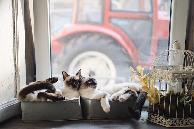 Gatos siameses fofos deitado em caixas perto da janela Foto gratuita