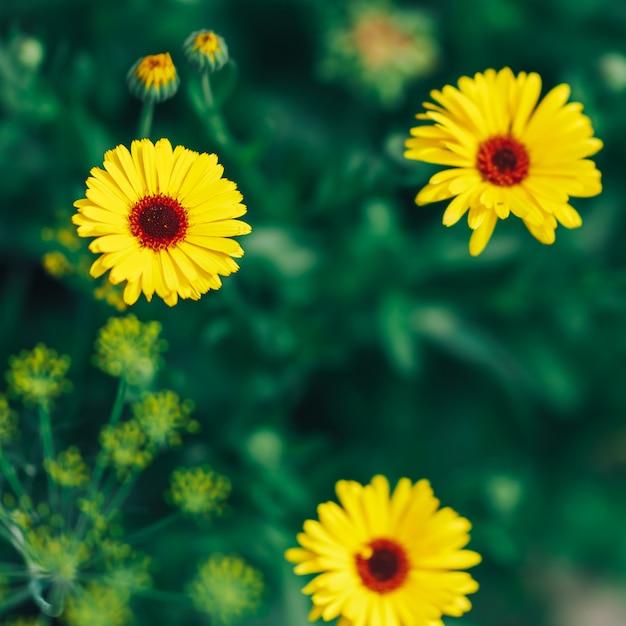 Gerbera amarelo brilhante sobre fundo verde no jardim Foto Premium
