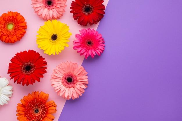 Gerbera flores no fundo do espaço cópia rosa e violeta Foto gratuita