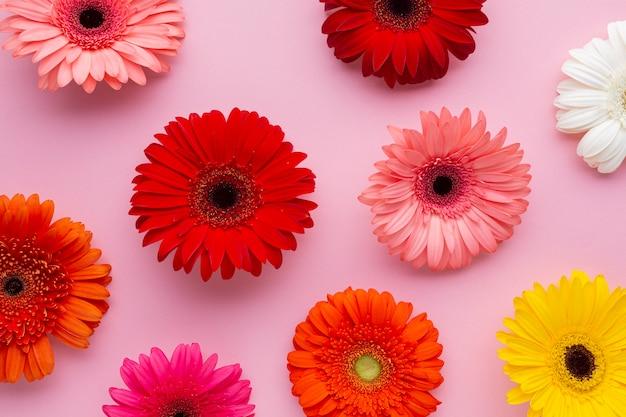 Gerbera flores no fundo rosa Foto gratuita