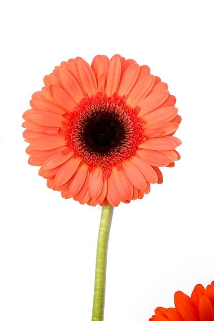 Gerbera linda em branco Foto gratuita