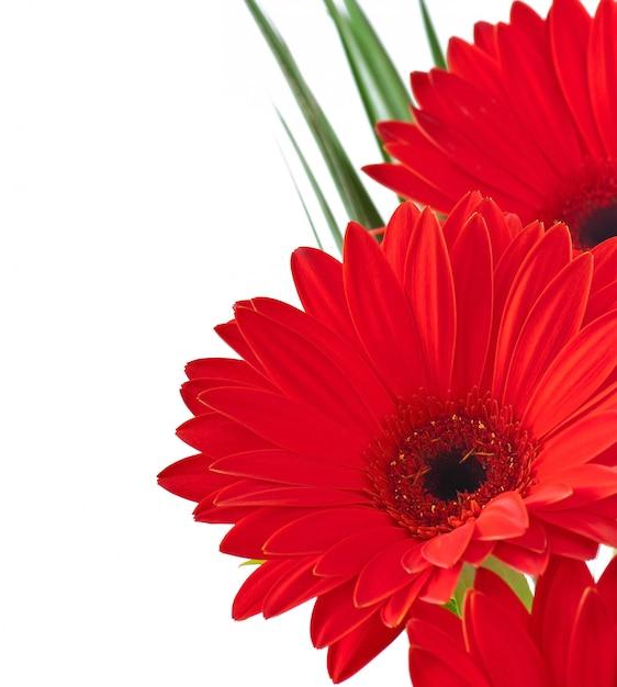 Gerberas vermelhas close-up Foto gratuita