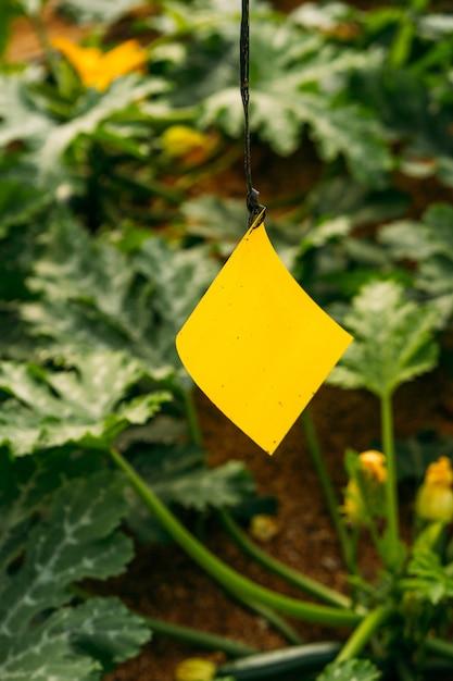 Gestão de pragas e doenças em estufas usando adesivo amarelo e azul com hormônio. para capturar insetos voadores, como pulgão, tripes, mosca branca e outros. Foto Premium