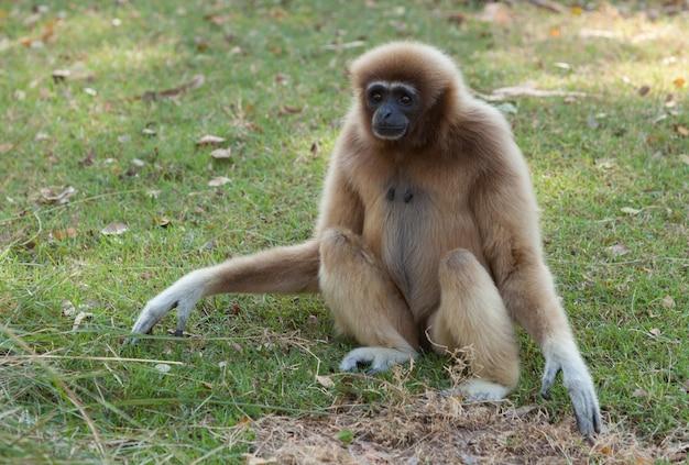Gibão branco cheeked ou gibbon lar Foto Premium