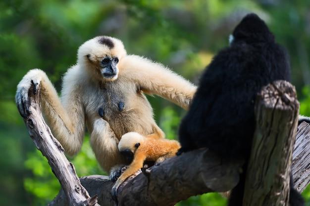 Gibbon branco cheeked ou gibbon de lar. Foto Premium