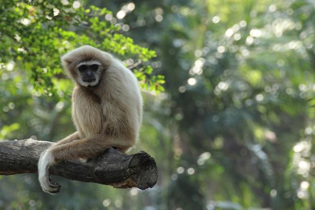 Gibbon branco Foto Premium